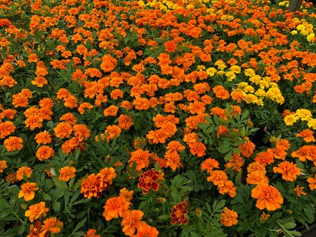 Medium wide shot of orange and yellow marigolds at a park