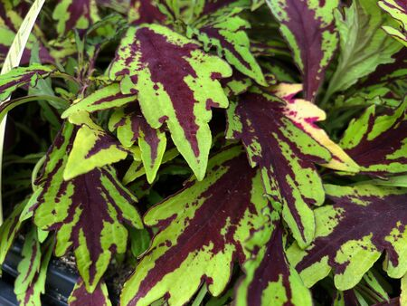 Close up of rreen and dark red sun coleus plants in pots