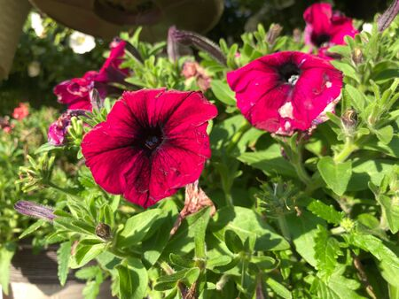 Red and pink hybrid petunias in a garden