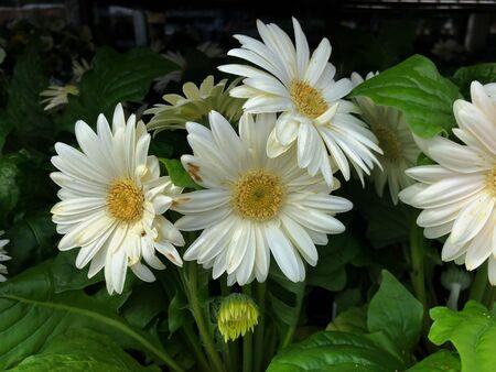 Beautiful white gerbera daisies in a garden, dark background Banco de Imagens
