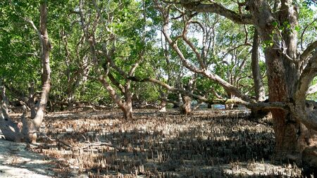 Trees and tree stumps grow up in a swampy area in Davao Oriental, Philippines. 스톡 콘텐츠