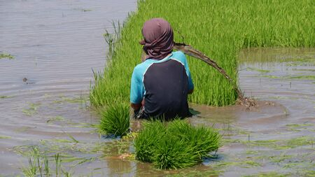 An unrecognizable boy shakes out muddy water while pulling rice seedlings in the southern Philippines. 스톡 콘텐츠