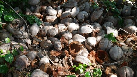 Pile of husked coconuts on the ground