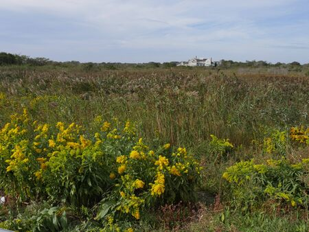 Newport, Rhode Island-September 2017: Wide field of bright yellow flowers and shrubs with a big mansion in the far distance.