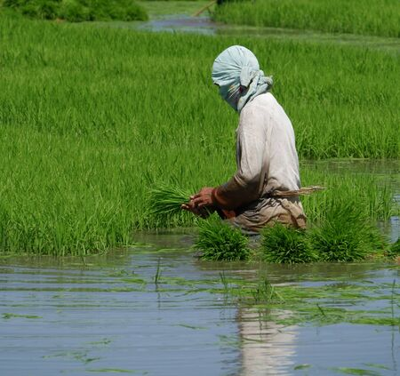 A ricefield worker pulls out rice seedlings for the next planting season in the Philippines.
