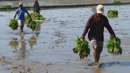 Banay Banay, Davao Oriental, Philippines - March 2016: Farm workers wade in the mud getting the rice seedlings ready for planting.