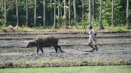 Banay Banay, Davao Oriental, Philippines - March 2016: A carabao and a farmer plows the ricefield in the southern part of the Philippines. 에디토리얼