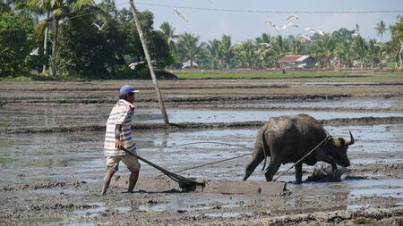 Banay Banay, Davao Oriental, Philippines - March 2016: A farmer and his carabao join their efforts to ready the field for planting rice. 스톡 콘텐츠 - 140477659