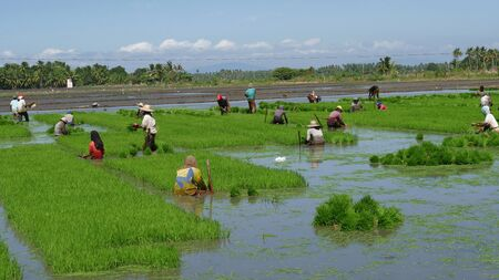 Banay Banay, Davao Oriental, Philippines - March 2016: Wide shot of farm laborers working in rows pulling out rice seedlings for planting.