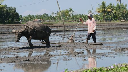 Banay Banay, Davao Oriental, Philippines - March 2016: A farmer and his carabao toil in the muddy fields to get it ready for planting. 에디토리얼