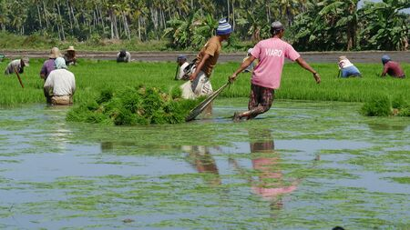 Banay Banay, Davao Oriental, Philippines - March 2016: Ricefield workers pull out the rice seedlings to prepare for the next planting season.