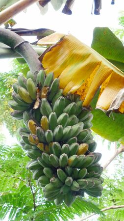 Big bunch of green and yellow bananas hanging from the banana plant