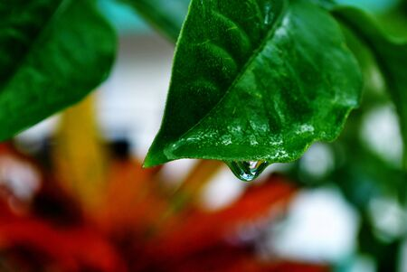 Big, clear dewdrop hanging from a green leaf, soft background