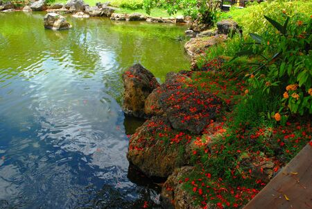 Showers of flame tree flowers on rocks by the pond of a landscaped garden