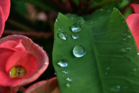 Dewdrops on a green leaf and on red thorn crown flowers, close up