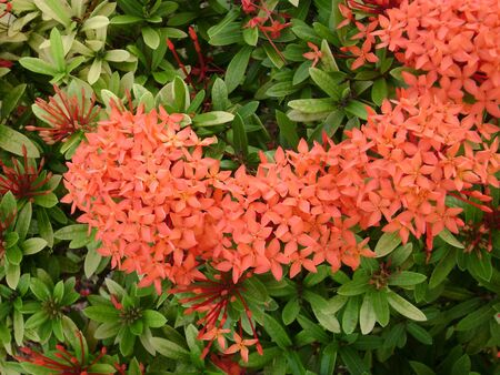Clusters of tropical orange santan flowers, or santan ixora