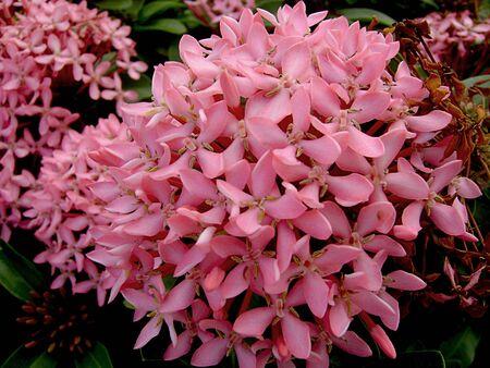 Close up of a cluster of tropical pink santan flowers, or santan ixora Stock Photo