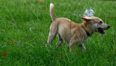 Small white dog running and playing in the bushes Imagens