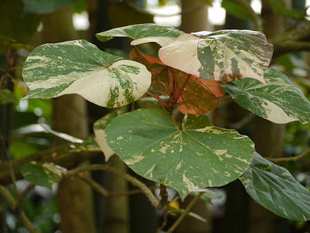 leaves of green and yellow elephant ears in the garden
