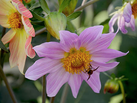 Top view of a purple dahlia with a bee sipping nectar, with other dahlias in the garden Banco de Imagens