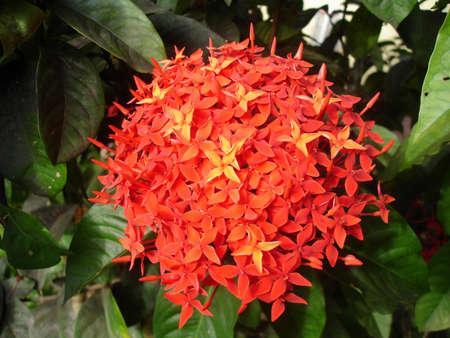 Big ball of red adn orange santan flowers in a garden