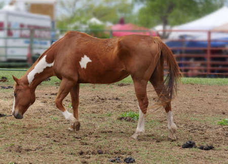A brown spotted horse walks with its head lowered inside a fenced area at a ranch.