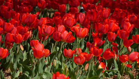 Field of beautiful red blooming tulips