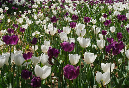 Beautiful patch of white and purple tulip flowers in a garden