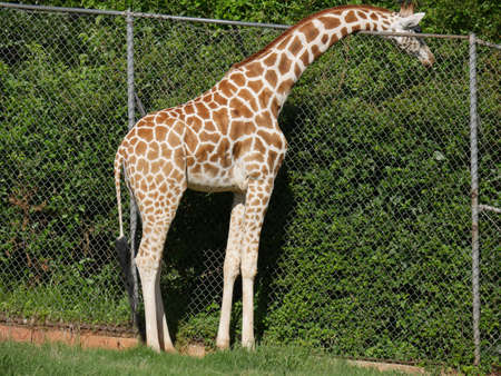 Side veiw of a a giraffe feeding on leaves from a treetop on the other side of the fence
