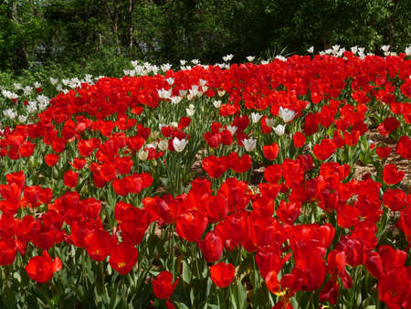 Garden filled with blooming red and white tulip flowers