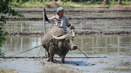 DAVAO ORIENTAL, PHILIPPINES—MARCH 2016: A farmer plows the muddy ricefield in Banaybanay, Davao Oriental with a water buffalo, called carabao in the Philippines. 報道画像