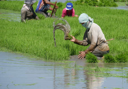DAVAO ORIENTAL, PHILIPPINES-MARCH 2016:—Muddy water spurts out as a field laborer pulls out the rice seedlings in Banay-banay, Davao Oriental, southern Philippines.