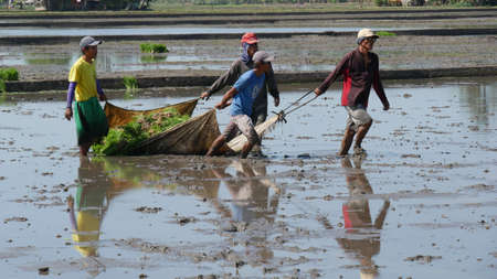 DAVAO ORIENTAL, PHILIPPINES-MARCH 2016:—Ricefield workers pulling the rice seedlings through the muddy fields ready for planting in Banay-banay, Davao Oriental, southern Philippines.