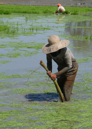 A female field laborer collects rice stalks from the muddy ricefields to get it ready for planting in Banay-banay, Davao Oriental, Philippines.