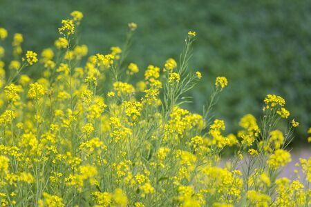Flaxseed tansy mustard, herb Sophia (Descurainia sophia), in front of potato fields, Munshigonj, Bangladesh.