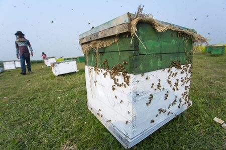 A new method of honey farming using bee boxes set up beside mustard fields is expanding fast here over the time at munshigonj, Bangladesh. Stock fotó - 95444984