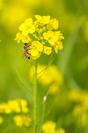 Honey Bee collecting pollen on yellow Mustard flower against blue sky at munshigonj, Bangladesh.