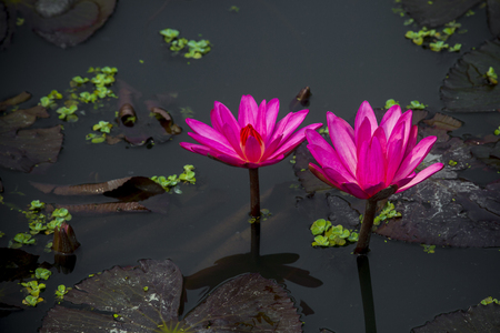 Red water lily in small pond near Dhamrai, Dhala, Bangladesh. Stock Photo