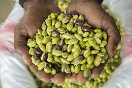 An farmer shows Fresh and clean Green Beans (Seem Bichi) brought from a new field at Bogra, Bangladesh.