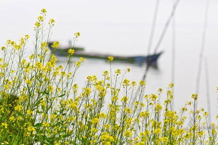 Mustard flowers blooming and growing