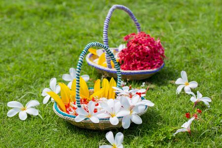Beautiful Plumeria flowers with a small basket made of Bamboo sticks and fiber. Green Grass flowers Background. Summer flowers. Standard-Bild
