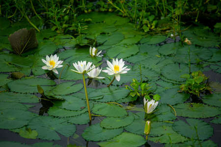 Water Lily (Nymphaeaceae, water lilies, lilly) blooming in pond. Rivers and ponds are filled with white water lilies during the rainy season. The national flower of Bangladesh.