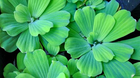 Pistia is a genus of aquatic plant in the arum family, Araceae. The single species it comprises, Pistia stratiotes, is often called water cabbage, water lettuce, Nile cabbage, or shellflower.