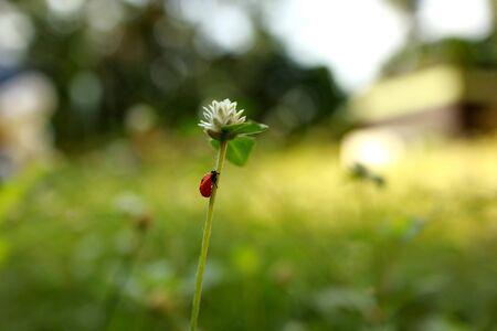 ladybug on a white clover flower closeup Stock Photo