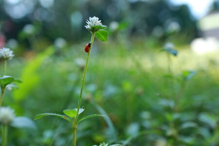 ladybug on a white clover flower closeup