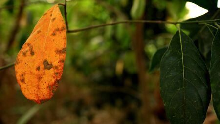Jackfruit leaves that are already dry and still green, are photographed with selective focus, background blur and bokeh