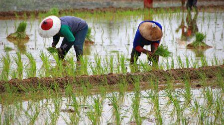 Los agricultores al plantar semillas de arroz en campos de arroz, Batang Indonesia