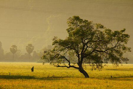 paddys: Rice field