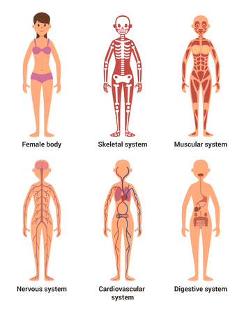 Anatomy Of Female. Vector Illustration Of Nerves And Muscular ...