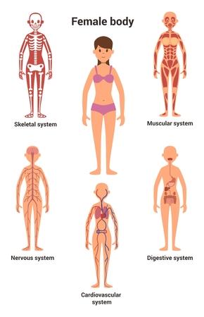 Vrouwelijk lichaam. Menselijke anatomie. Skelet- en spierstelsel, zenuwstelsel en bloedsomloop, menselijk spijsverteringsstelsel